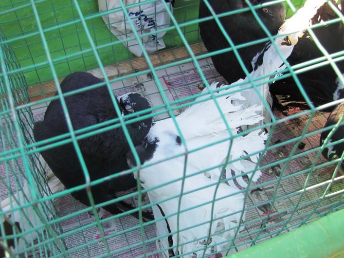 Выставка голубей. Мелитополь