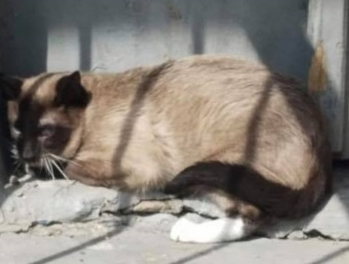 В Мелитополе найден раненый породистый кот (фото)