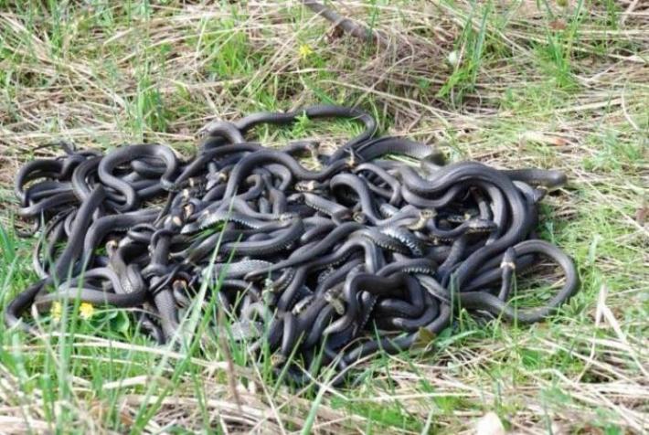 Под Мелитополем змеи собираются в огромные клубки (видео)