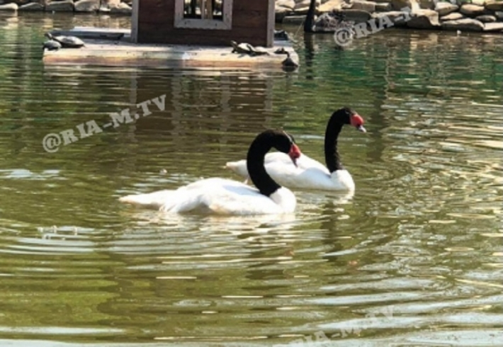 В Мелитополе в парке собаки съели лебедя