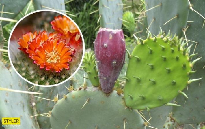 """Под Херсоном лес оккупировали """"кактусы-пришельцы"""": теперь эта красота цветет"""